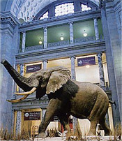 Elephant in the rotunda of the National Museum of Natural History